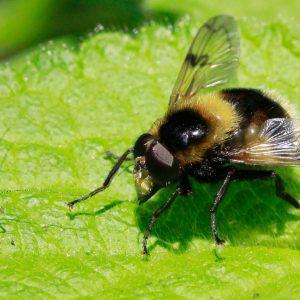 Biene Insekt